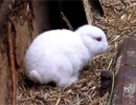 Thỏ không tai xuất hiện gần nhà máy hạt nhân Nhật