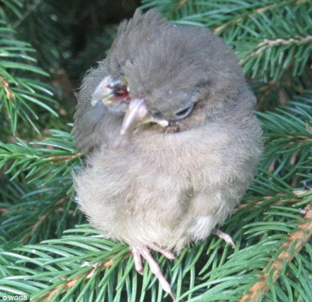 Kỳ lạ chim có 2 đầu và 3 mỏ