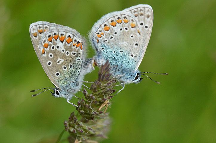 Ảnh động vật tuần qua: Bướm xanh giao phối trên hoa