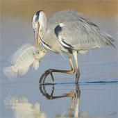 Chùm ảnh độc của những loài chim tuyệt đẹp