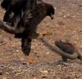 """Video: Xem chim ưng săn """"rồng"""" trên hoang đảo"""
