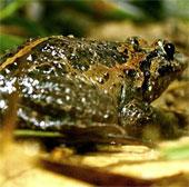 Tìm thấy loài ếch tưởng đã tuyệt chủng