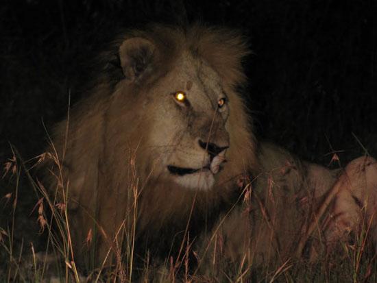 Sau trăng tròn, sư tử tấn công người nhiều hơn
