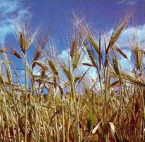 Phát hiện gen đột biến Eibi1 ở cây lúa mạch hoang dã