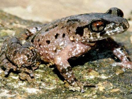 Phát hiện loài ếch, cóc... mới ở Lâm Đồng
