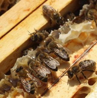 Mật ong có thể thay thế kháng sinh