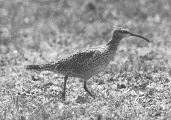 Bộ ảnh cực hiếm về 12 loài chim đã tuyệt chủng