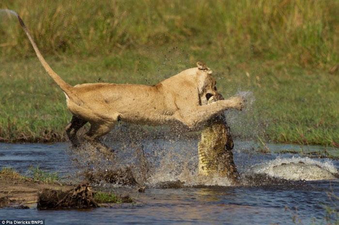 Cuộc chiến ác liệt giữa sư tử và cá sấu