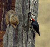 """Video: Chim gõ kiến """"ăn thua"""" với sóc để giữ thức ăn"""