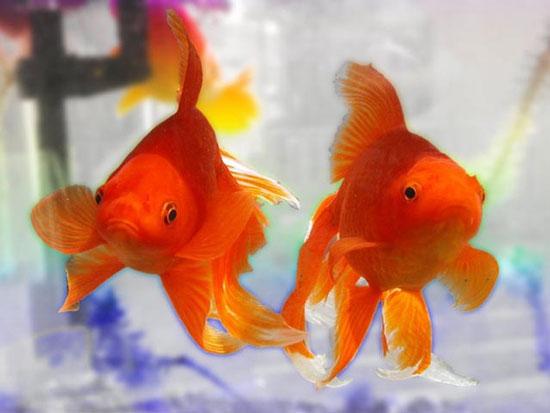 Cá vàng sống sót sau hơn 4 tháng không ăn