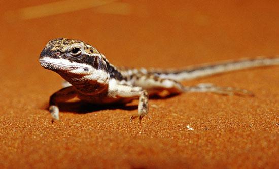 Ảnh vật động vật ở hoang mạc