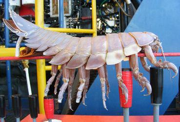 Loài côn trùng khổng lồ tại vịnh Mexico