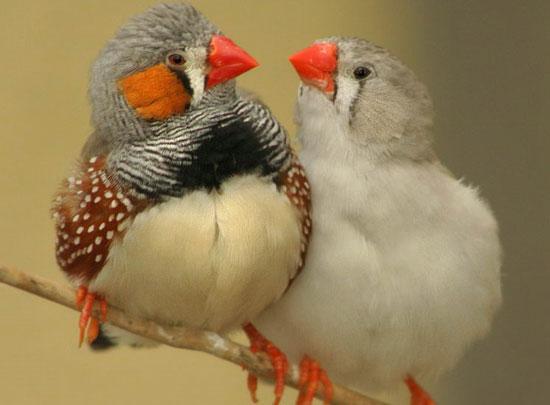 Chim sẻ đực cũng chơi trò đồng tính