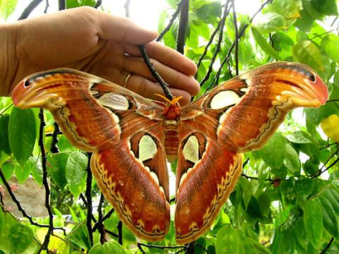 Cận cảnh loại bướm có tên trong sách đỏ Việt Nam