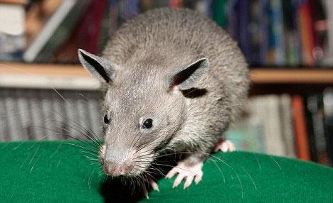 Chuột dài cả mét ở Mỹ có thể doạ lại cả mèo