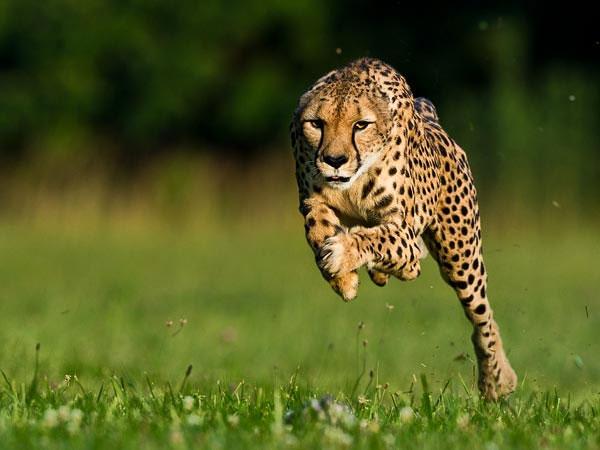 Báo đốm phá kỷ lục chạy nhanh nhất thế giới