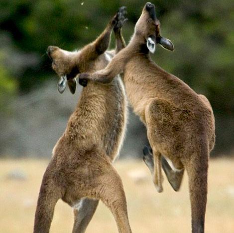 """Video: Xem Kangaroo """"đấm bốc"""" giành bạn tình"""