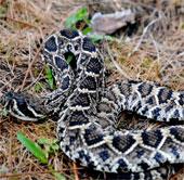 Video: Cuộc hỗn chiến giữa báo và rắn đuôi chuông