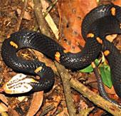 Phát hiện loài rắn độc mới ở Việt Nam