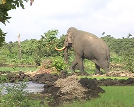 Dân hốt hoảng vì đụng độ voi rừng