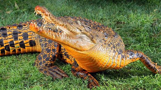 Cá sấu da cam