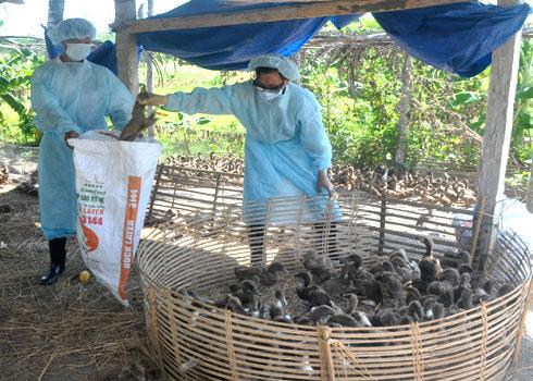 Lực lượng cán bộ thú y thu gom đưa gia cầm mắc bệnh cúm A/H5N1 đi tiêu hủy ở một trang trại ở huyện Tư Nghĩa (Quảng Ngãi).