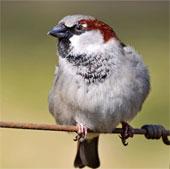 Chim gáy báo thức phụ thuộc vào con người