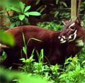 Động vật móng guốc Đông Nam Á đang bên bờ tuyệt chủng