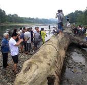 Trung Quốc phát hiện thân cây cổ thụ 800 tuổi, dưới đất 500 năm