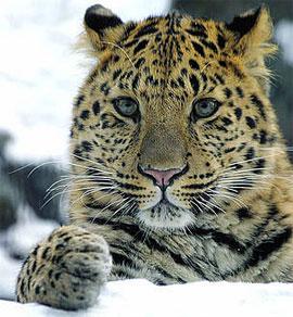 Ảnh hiếm hoi về báo Amur ở Trung Quốc