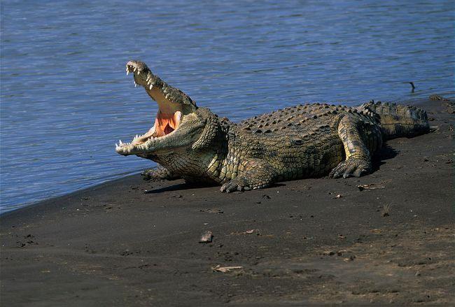 Cá sấu nguy hiểm hơn cá mập 168 lần