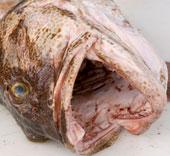 Nhật Bản: Phóng xạ trong cá vẫn ở mức cao