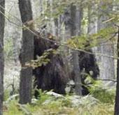 Chụp được ảnh hai quái thú Bigfoot trong rừng