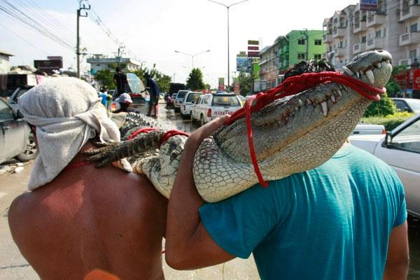 Thái Lan: Cá sấu, rắn độc lổm ngổm trên phố sau lũ
