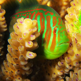 Phát hiện cá bống giúp san hô chống lại tảo độc