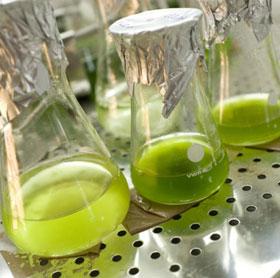 """Phát hiện tảo có thể """"ăn"""" cellulose"""