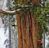 Chiêm ngưỡng cây cổ 3.200 tuổi, cao bằng 20 tầng nhà