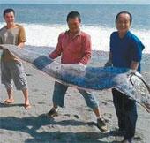 Bắt sống cá mái chèo khổng lồ ở Đài Loan