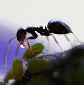 Những điều chưa biết về loài kiến