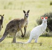 Chiêm ngưỡng chuột túi bạch tạng hiếm thấy ở Úc