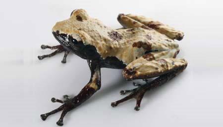 Phát hiện hai loài ếch mới ở Việt Nam