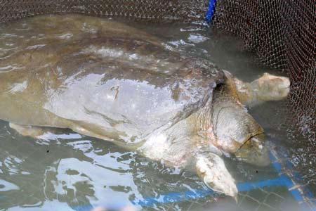 Cho rùa hồ Gươm phối giống với rùa Trung Quốc