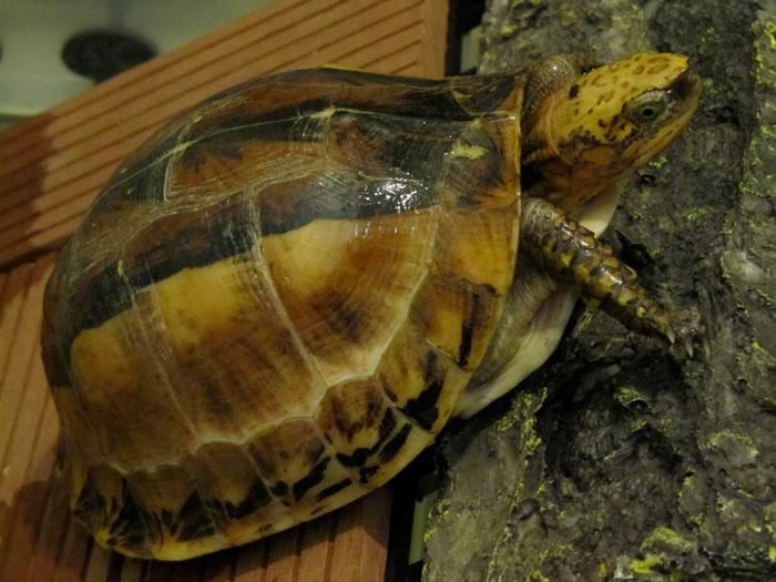 Nhiều cá thể rùa quý hiếm của Việt Nam xuất hiện tại các chợ Trung Quốc