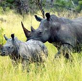 Nam Phi bảo vệ tê giác bằng máy bay do thám