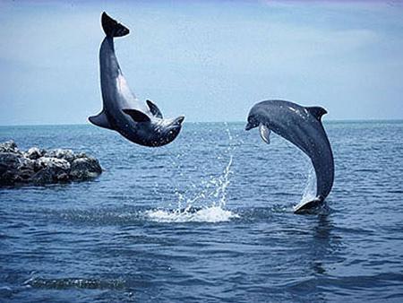 Cá heo và cá voi phối hợp cứu người