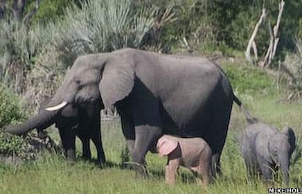 Phát hiện voi hồng ở châu Phi