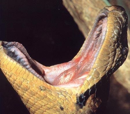 Trăn khổng lồ Nam Mỹ có thể nuốt chửng cá sấu