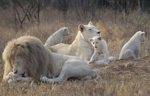 Sư tử trắng thoát khỏi cảnh 'giam cầm'