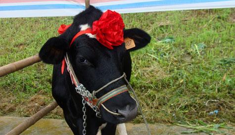 Hình ảnh thú vị tại cuộc thi Hoa hậu bò sữa