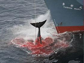 Chile phản đối hành động săn bắt cá voi của Nhật